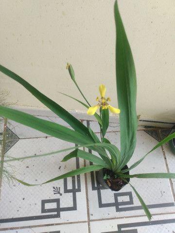 Vendendo muda dessa linda planta  - Foto 3