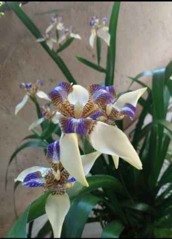 Vendendo muda dessa linda planta