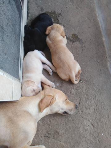Vende_se filhotes de labrador - Foto 4