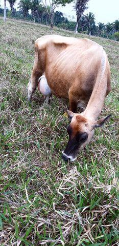 Vende Se 5 Vacas Leiteira  Jersey - Foto 5