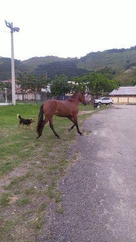 Cavalos Mangalargas
