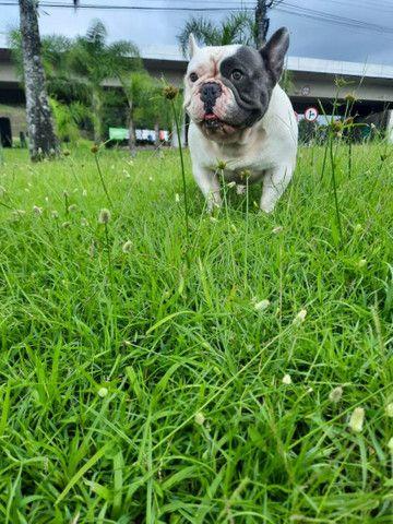 Bulldog francês exótico  - Foto 2