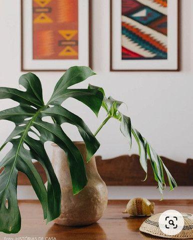 Vendo folhas natural da planta costela de Adão - Foto 5