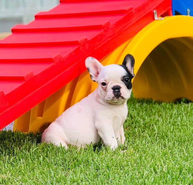 Fêmea de Bulldog Francês - Para quem busca qualidade!