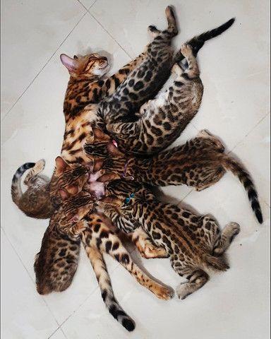 Gato de bengala (bengal) Mine Leopardo - Foto 6