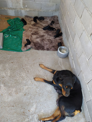 Vendo filhotes de cachorro da Raça Rottweiler. - Foto 5
