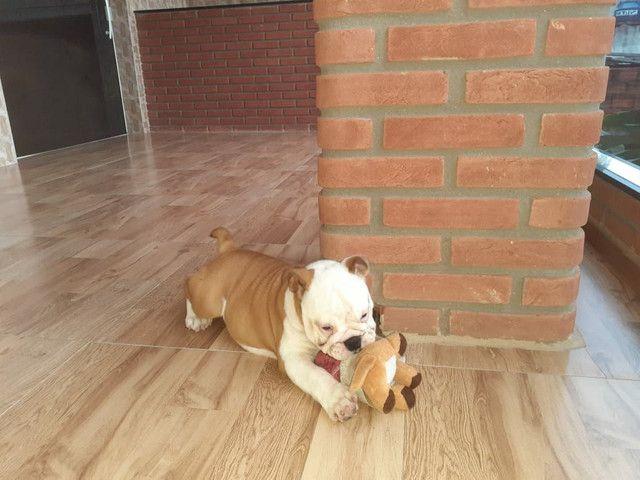 Bulldog Inglês - Foto 3