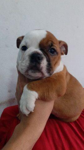 Bulldog Inglês - Foto 5