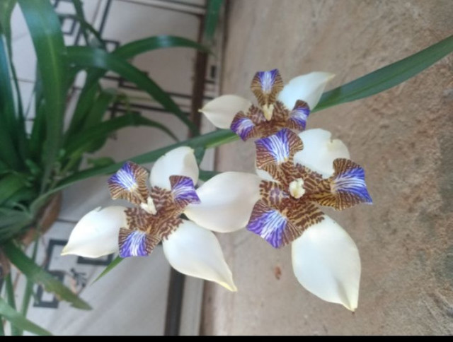 Vendendo muda dessa linda planta  - Foto 2