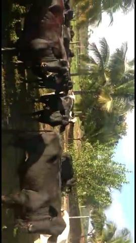 Vacas paridas e Novilhas amojando (1 e 2 cria) - Foto 5