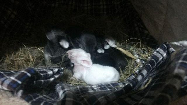 Vende-se filhote de coelho mini lion e lion head R$ 60 cada - Foto 2