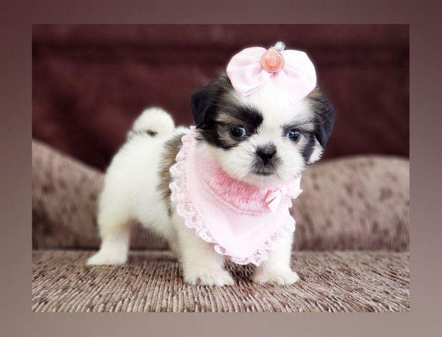 **Filhote de shih tzu fêmea, menina à pronta entrega no Namu Royal, fotos reais** - Foto 3