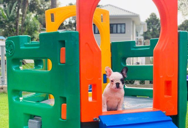 Fêmea de Bulldog Francês - Para quem busca qualidade! - Foto 2