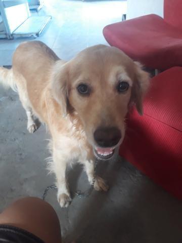 Vendo Cachorro Labrador Golden Puro Cachorros Canindezinho