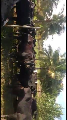 Vacas paridas e Novilhas amojando (1 e 2 cria) - Foto 6