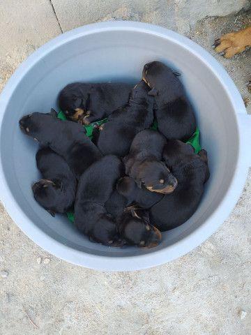 Vendo filhotes de cachorro da Raça Rottweiler. - Foto 3