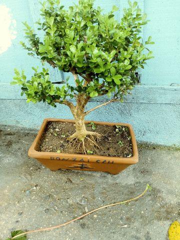 Pre bonsai de buxinho