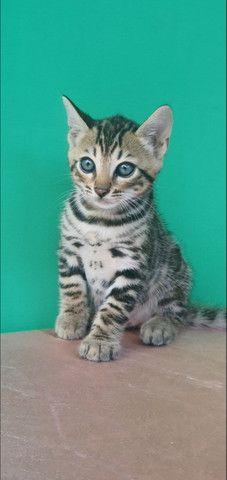 Gato de bengala (bengal) Mine Leopardo - Foto 3