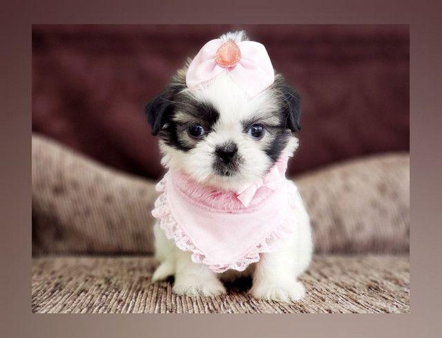 **Filhote de shih tzu fêmea, menina à pronta entrega no Namu Royal, fotos reais** - Foto 2