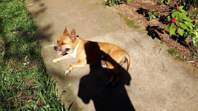 Filhotes AmericanStaffordshire Terrier x Cimarron