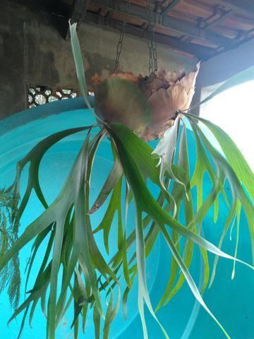 Planta chifre de veado Natural
