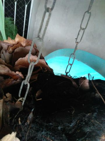 Planta chifre de veado Natural - Foto 2
