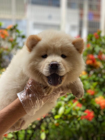 Chow-Chow -Baby  - Foto 2