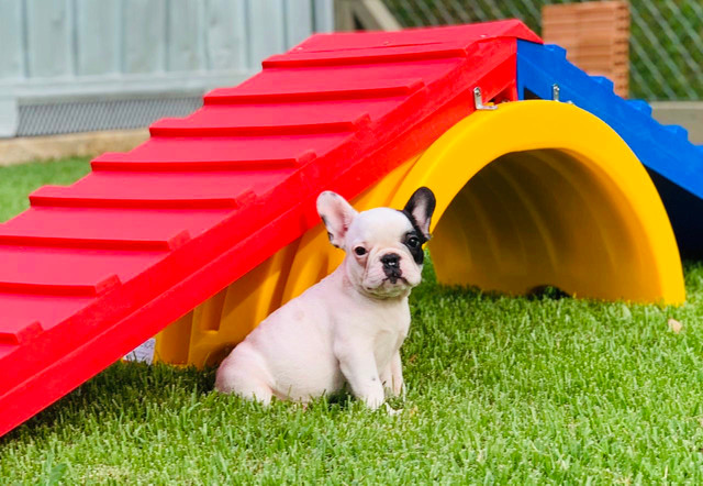 Fêmea de Bulldog Francês - Para quem busca qualidade! - Foto 5