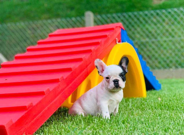 Fêmea de Bulldog Francês - Para quem busca qualidade! - Foto 6
