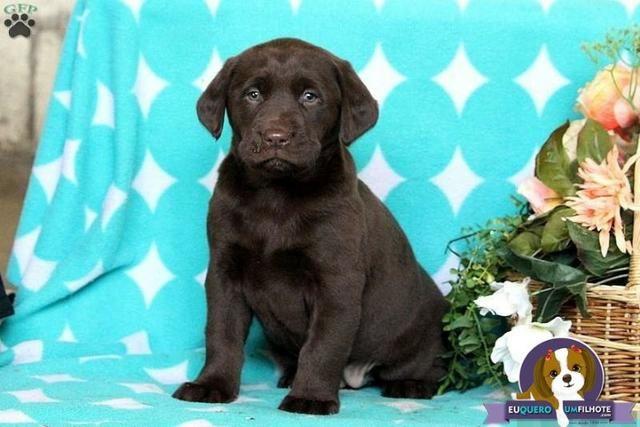 8a3d96092e Labrador chocolate amarelo preto