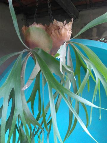 Planta chifre de veado Natural - Foto 4