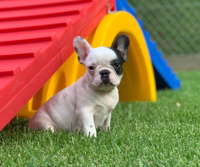 Fêmea de Bulldog Francês - Para quem busca qualidade! - Foto 3