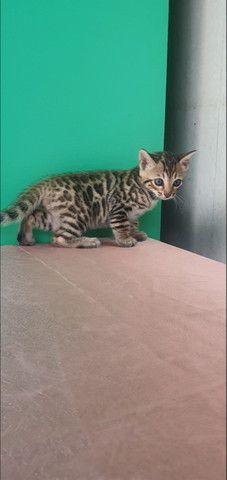 Gato de bengala (bengal) Mine Leopardo - Foto 5
