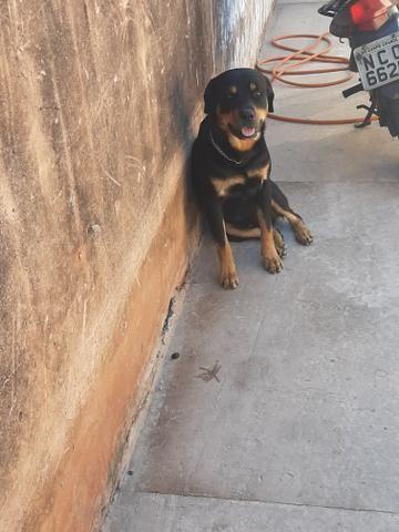 Cachorro hottwailler procura namorada - Foto 4