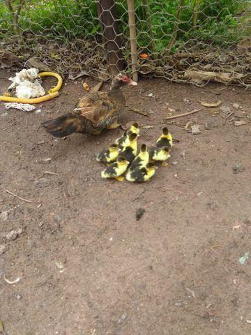Filhotes de pato