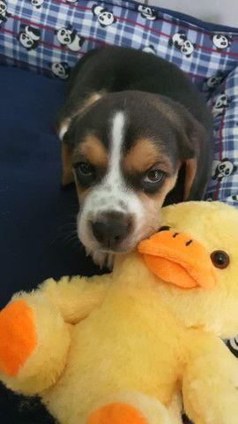 Beagle macho 48 dias desverminado e vacinado  - Foto 2