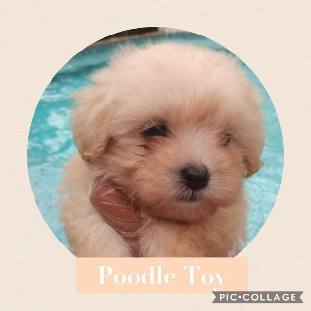 Poodle Toy com pedigree e microchip em ate 18x