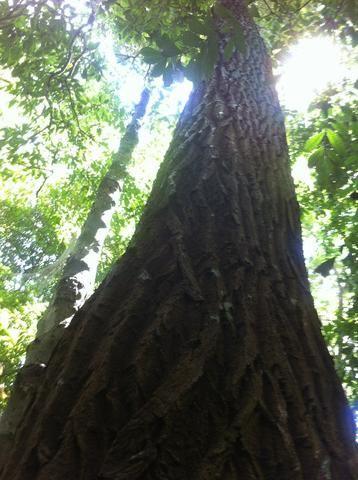 Mudas de Castanha Sapucaia (Lecythis pisonis) ou Cumbuca de macaco: frutífera nativa