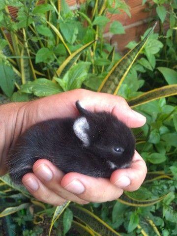 Mini coelho Black Other Disponivel - Foto 2