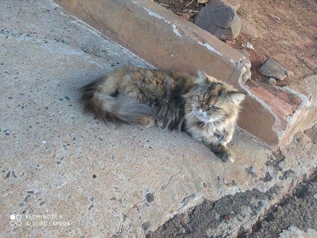 Duas gatas persa, fêmea, para venda  - Foto 4