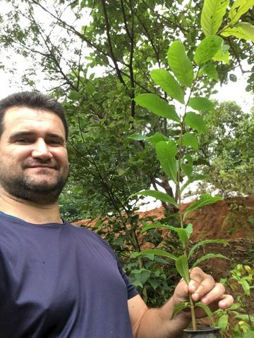 Mudas de Jequitibá (Cariniana estrellensis) - Foto 6