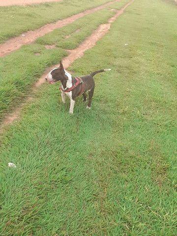 Filhote de Bull Terrier inglês  - Foto 3