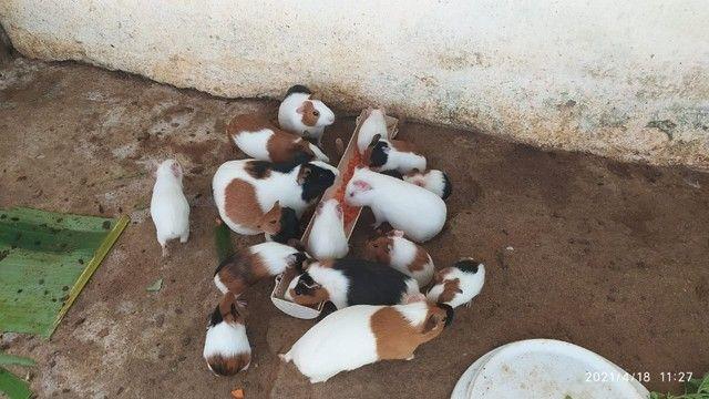Porquinho da Índia, Inglês - Foto 2