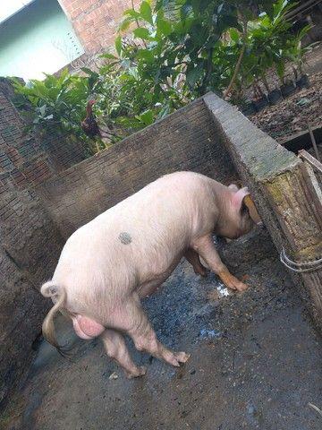 Porco para reprodução  - Foto 2