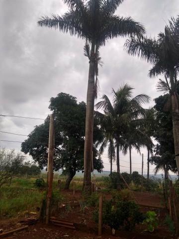 Palmeira - Foto 2