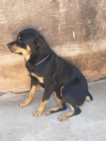 Cachorro hottwailler procura namorada - Foto 5