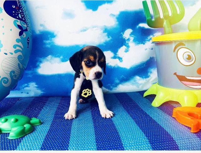 Beagle macho 48 dias desverminado e vacinado