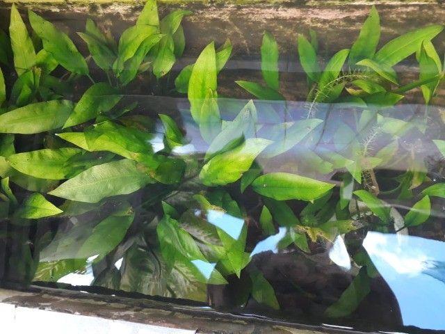 Planta ornamental de aquário amazonense