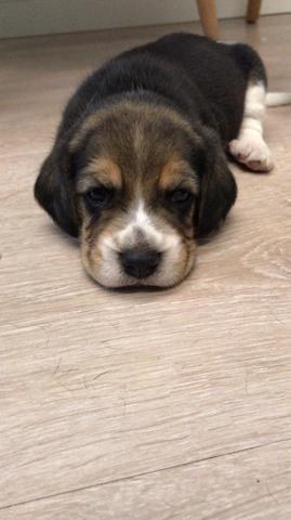 Filhotes de Beagles Tricolor