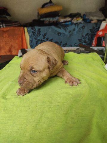 Cachorro pitbull Monster - Foto 2